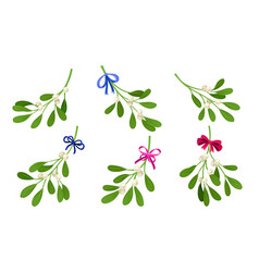 Mistletoe or viscum branches with oblong leaves vector