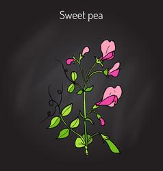 Sweet pea lathyrus odoratus vector
