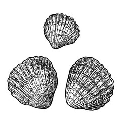 Cockle clam drawing engraving ink vector
