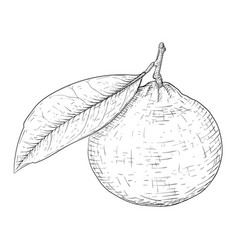 Mandarin orange with leaf black and white hand vector