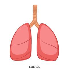lungs organ human body medicine and anatomy vector image