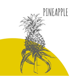 pineapple or ananas fruit botanical sketch plant vector image