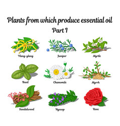 Plants from which produce essential oils vector
