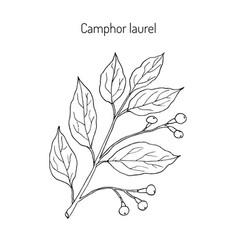 Camphor tree medicinal plant vector