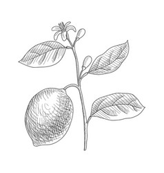 Drawing lemon branch vector