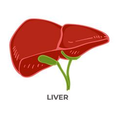 liver organ human body detoxification health vector image