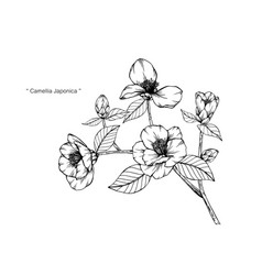 camellia japonica flower and leaf hand drawn vector image