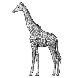 giraffe drawing engraving ink vector image