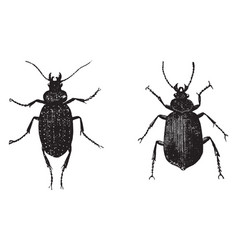 Caterpillar hunter beetles vintage vector