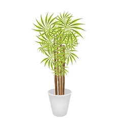Beautiful Dracaena Plant in A Flower Pot vector