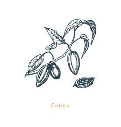 botanical cacao bean cocoa branch vector image