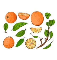 Fresh Oranges and Leaves Set vector