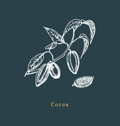 botanical of cacao bean cocoa branch vector image