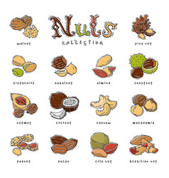 Nuts nutshell of hazelnut almond and walnut vector