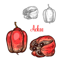 Ackee tropical fruit sketch for exotic food design vector