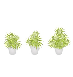Beautiful Yucca Trees in Three Flower Pot vector