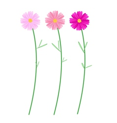 Three Pink Cosmos Flowers on White Background vector