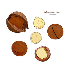 Collection of macadamia hand draw sketch vector