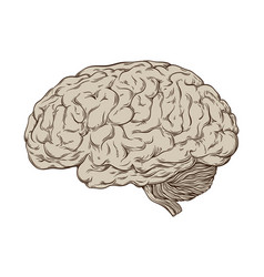 hand drawn anatomically correct human brain vector image