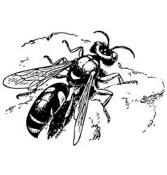 Spiny digger wasp crabro vector