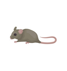 gray domestic mouse small rodent with pointed vector image