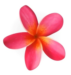 Pink Plumeria flower isolated on white vector