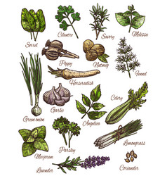 spice herb and fresh leaf vegetable sketch design vector image