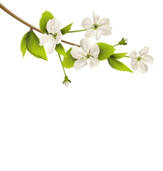 Cherry branch with white flowers isolated on white vector image