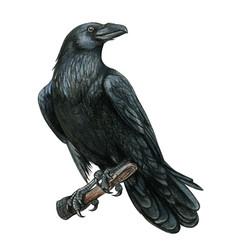 Watercolor black realistic western raven vector