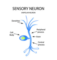 the structure of the sensory neuron infographics vector image vector image