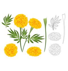marigold flower outline vector image vector image