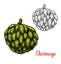 cherimoya custard apple sketch of tropical fruit vector image