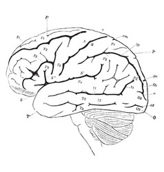 Lateral view of the brain vintage vector
