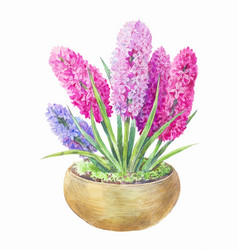 watercolor hyacinth in a pot hand drawn painting vector image vector image