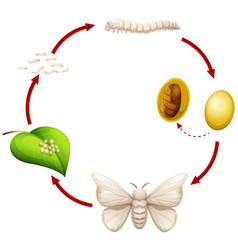 Life cycle of a silkworm vector