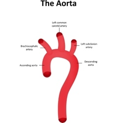 The Aorta and Aortic Arch Cartoon vector image
