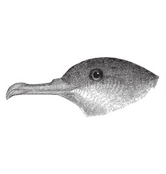 Black vented shearwater vintage vector