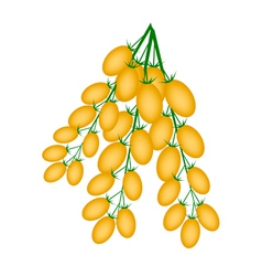 Fresh Orange Plum Tomatoes on A Branch vector