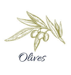 olive branch with fruit and leaves sketch vector image vector image