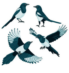 Magpies on white background vector