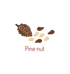 pine nuts and pine cone vector image