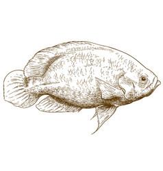 Engraving of oscar fish vector