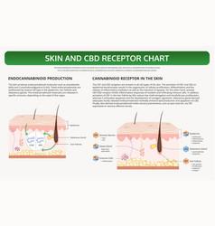 Skin and cbd receptor chart horizontal textbook vector