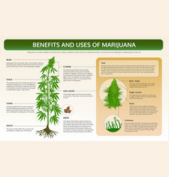 Benefits and uses marijuana horizontal vector