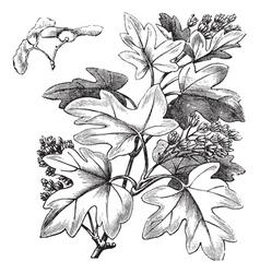 Field Maple vintage engraving vector image