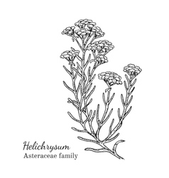 Ink helichrysum hand drawn sketch vector image
