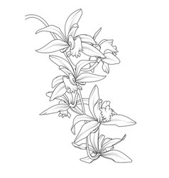 exotic tropical cattleya orchid flower plant vector image