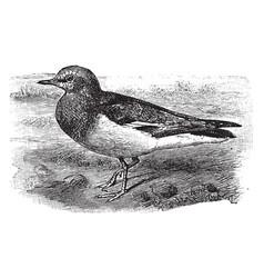 magellanic plover vintage vector image