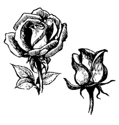 rose and leaves hand drawn vector image
