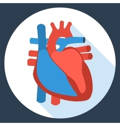 Flat design icon of anatomy of human heart vector image